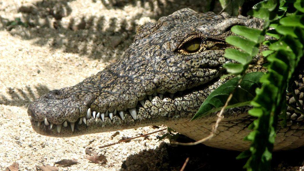 ¿Hay un cocodrilo merodeando por el Pisuerga?
