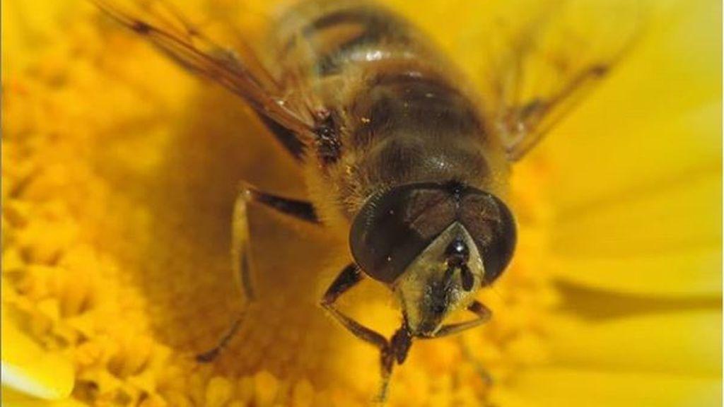 La mosca abeja: el híbrido que trae de cabeza a los vecinos de Barcelona