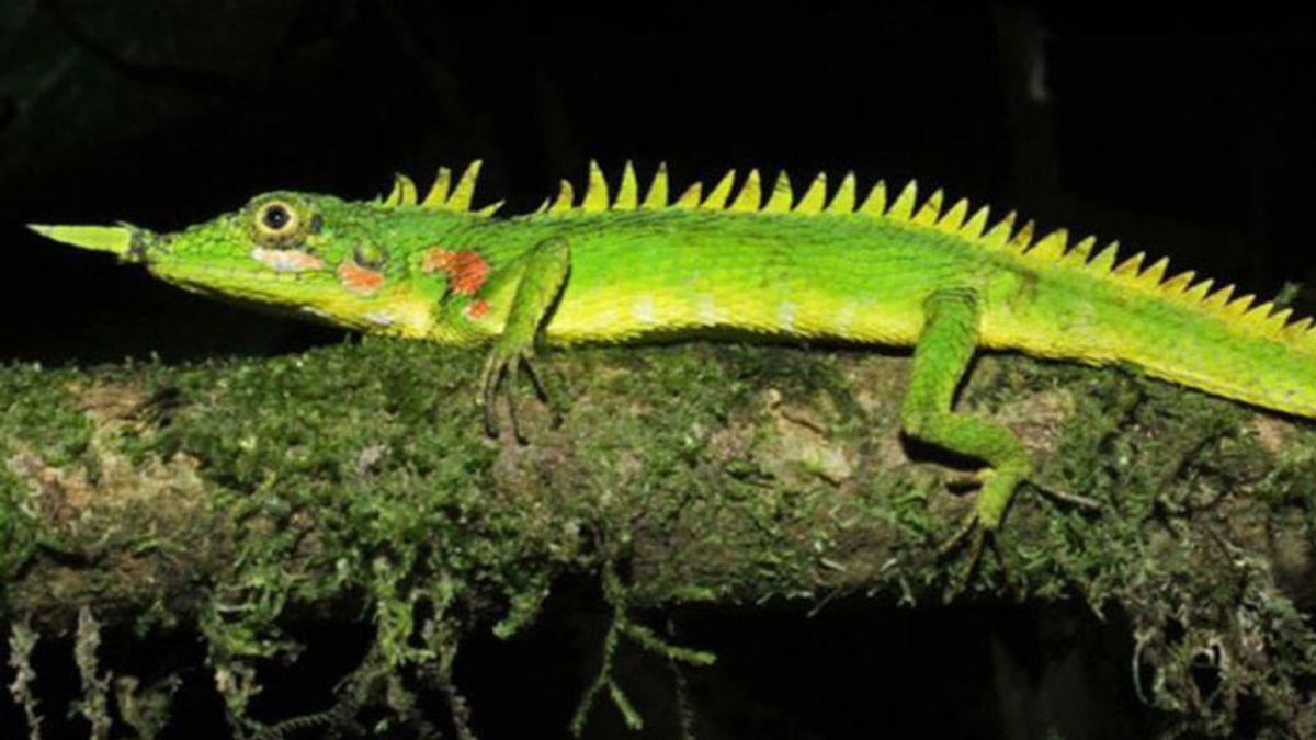 Reaparece un lagarto con un cuerno en la nariz que se pensaba extinguido hace más de un siglo
