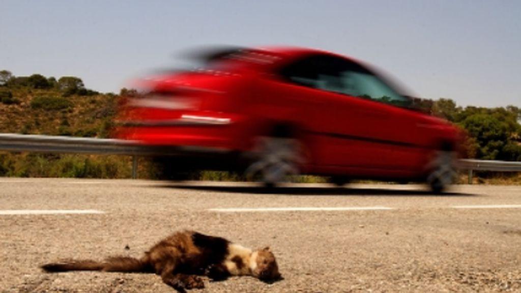 194 millones de aves y 29 millones de mamíferos mueren cada año en las carreteras europeas