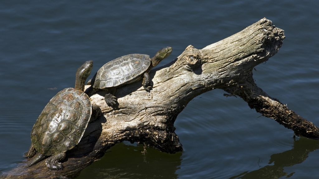 Tortugas galápagos en el Manzanares: la especie se recupera libre en Madrid
