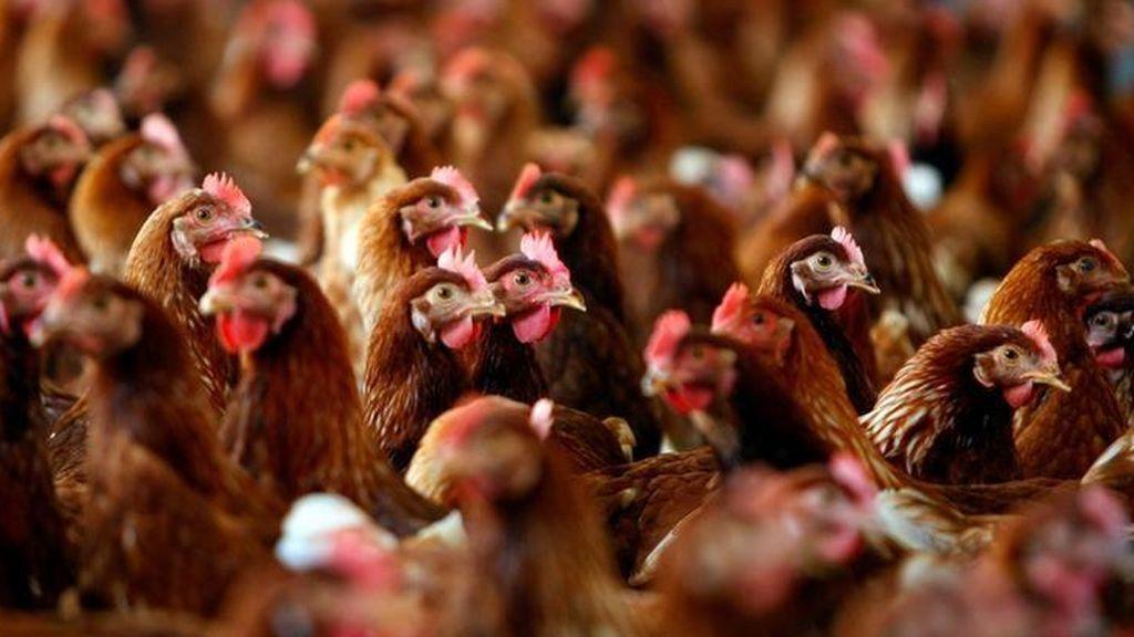 Plaga de pollos salvajes en Nueva Zelanda tras el confinamiento por el coronavirus