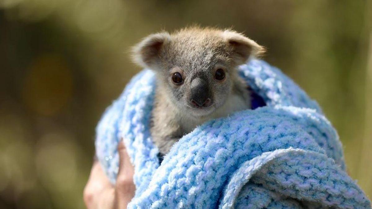 Buenas noticias para el koala: nace la primera cría desde los incendios en Australia