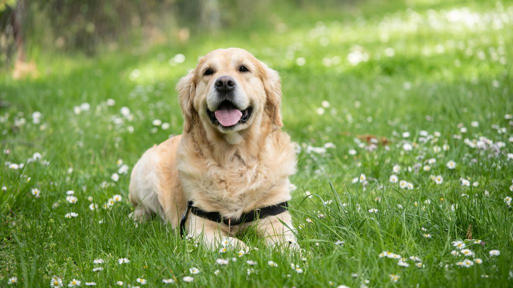 Las heces del perro nos hablan de su salud: prevención de los tres parásitos más comunes
