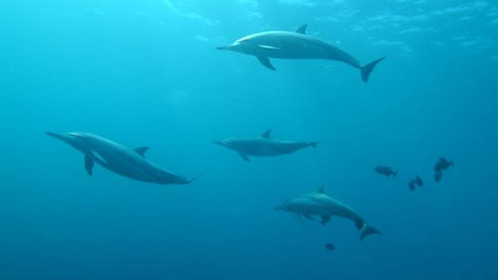 Los delfines hacen suyas las Canarias: graban a un grupo a orillas de Lanzarote