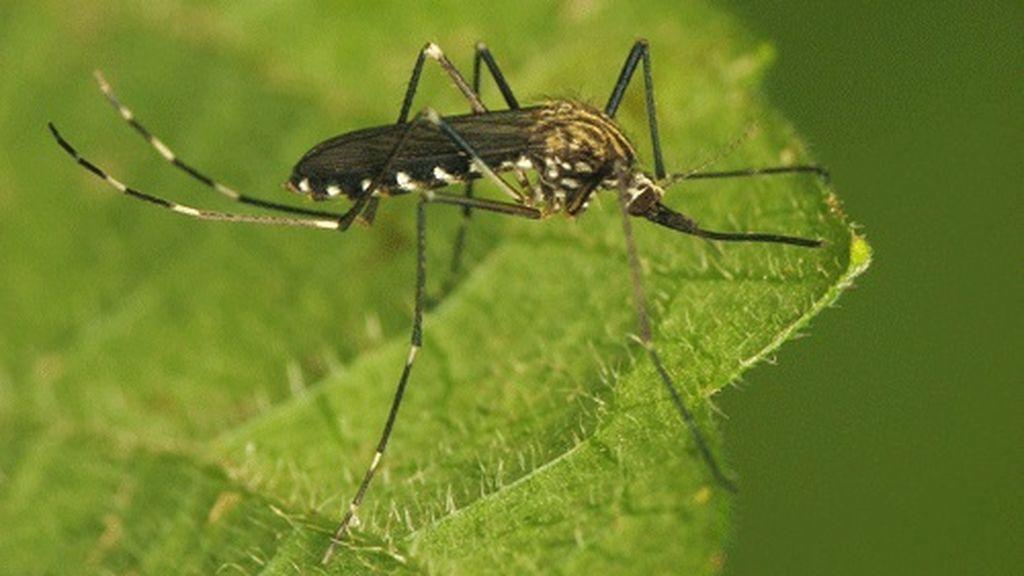 Crece la preocupación por el mosquito asiático japonicus: podrá expandirse en verano por el norte de España