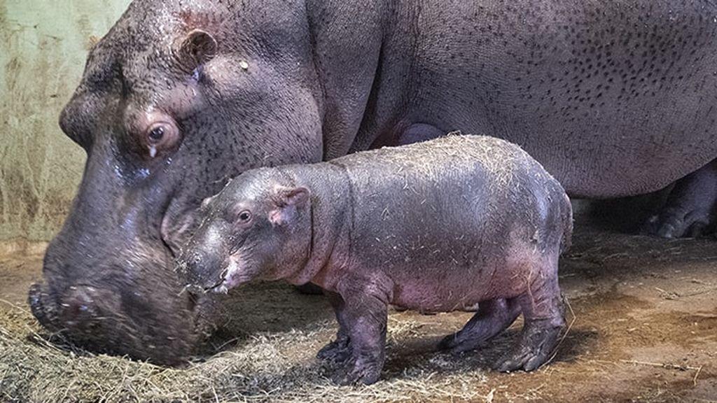 Hipopótamo bioparc