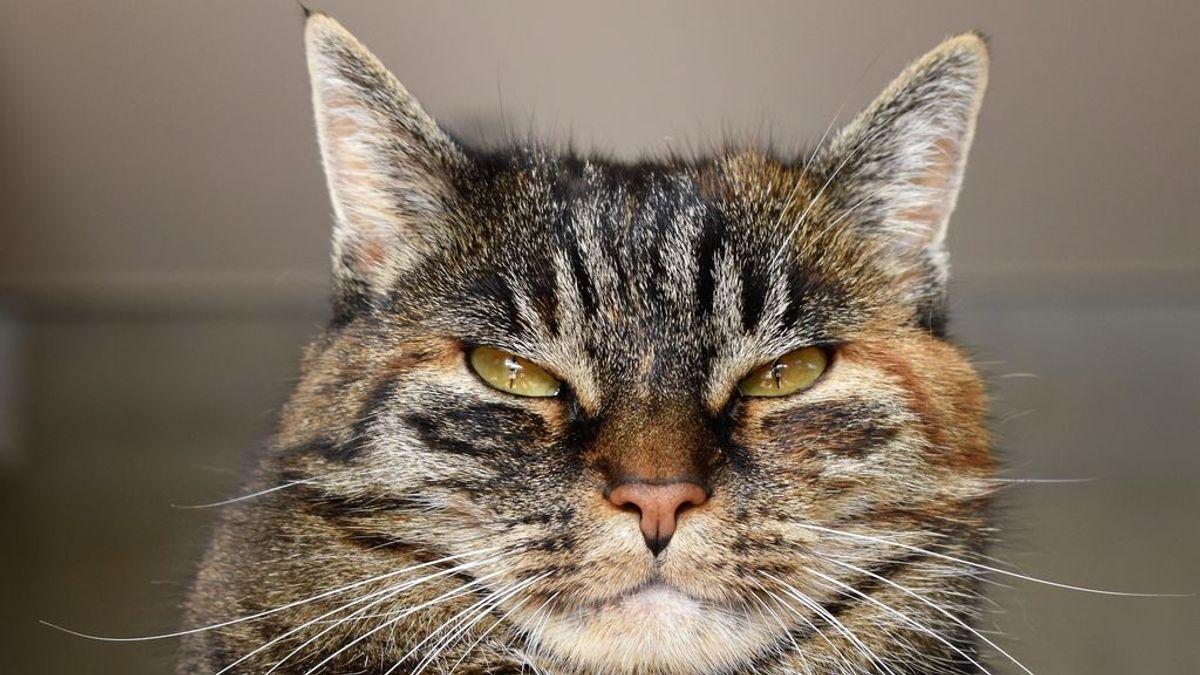 Comer de más pasa factura: qué hacer si tu gato se empacha