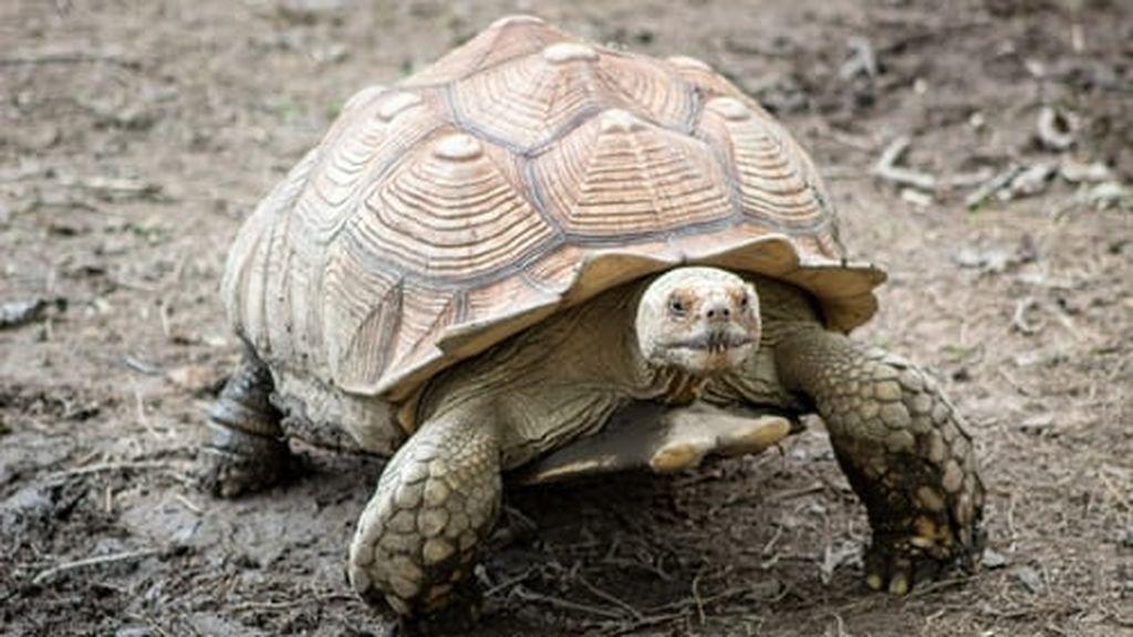 Se llama Diego, tiene 100 años y es la salvación de su especie, la tortuga gigante de las Galápagos