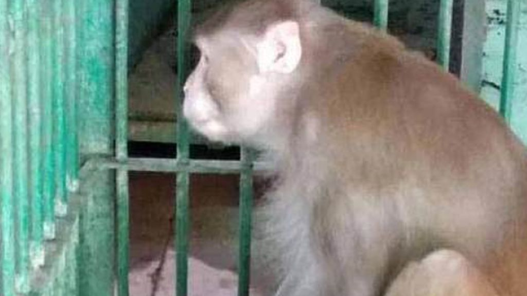 Un mono borracho condenado a cadena perpetua: mató a una persona e hirió a 250 al quedarse sin bebida en India