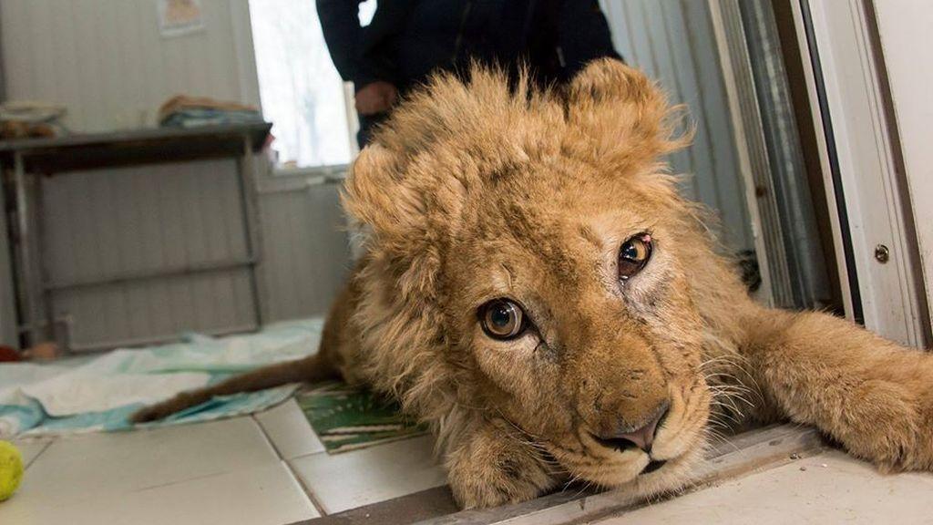 Simba, el cachorro de león al que rompieron las patas para que los turistas se sacaran fotos, cumple un año recuperado