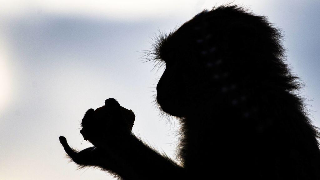 Un mono alcohólico, condenado a cadena perpetua después de matar a un hombre y atacar a otras 250 personas