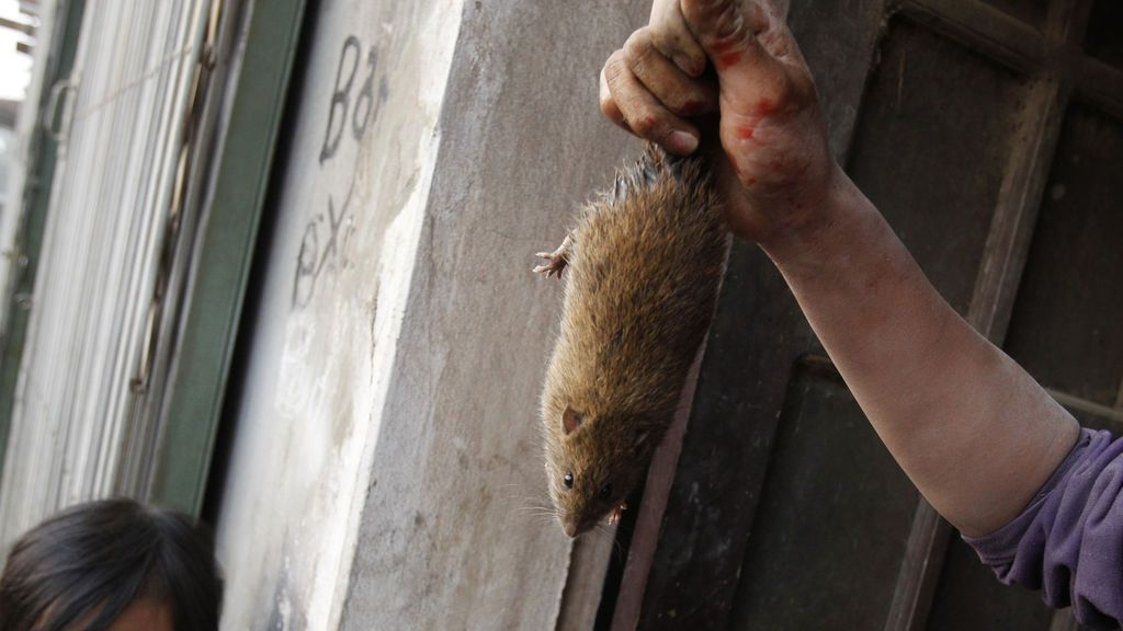 Rata capturada