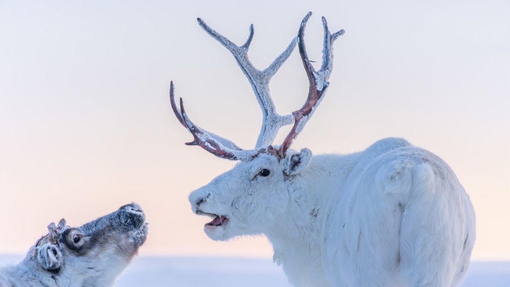 Vacunas para los renos en el Ártico: la enfermedad letal que renace al derretirse el permafrost