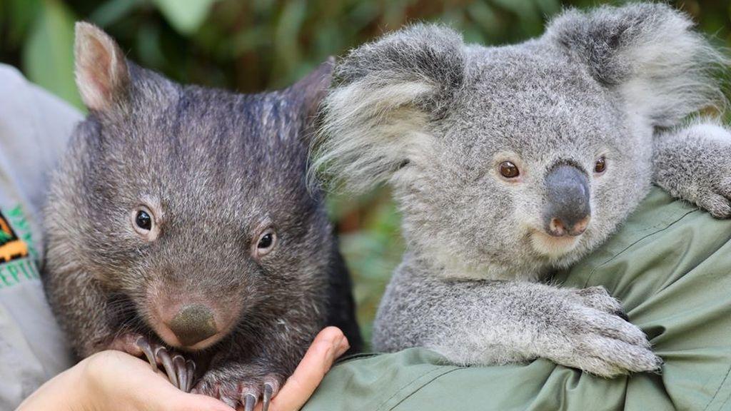 Elsa y Hope, mejores amigos: el koala y el wombat inseparables de un parque australiano