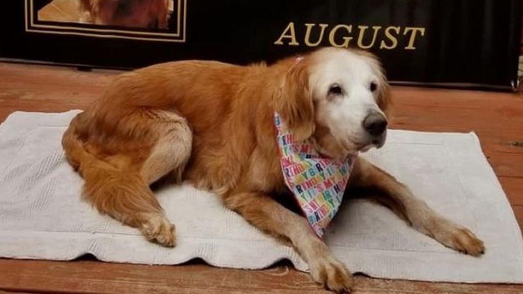 ¡Cumple 20 años! August ya es el Golden Retriever más viejo del mundo
