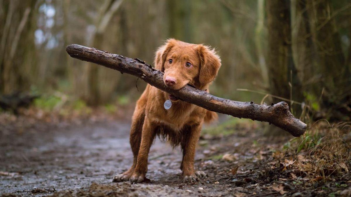 Parásitos, dermatitis o alergias: problemas que pueden llevar a tu perro a morderse las piernas