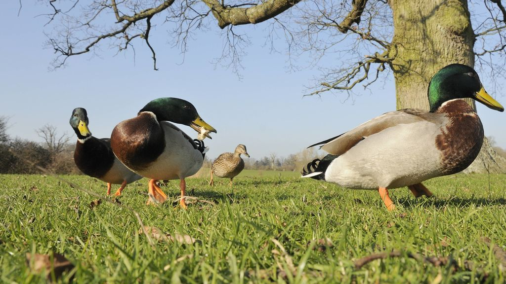 No, no es bueno darles pan a los patos: los motivos que hacen de esta práctica un problema para el animal