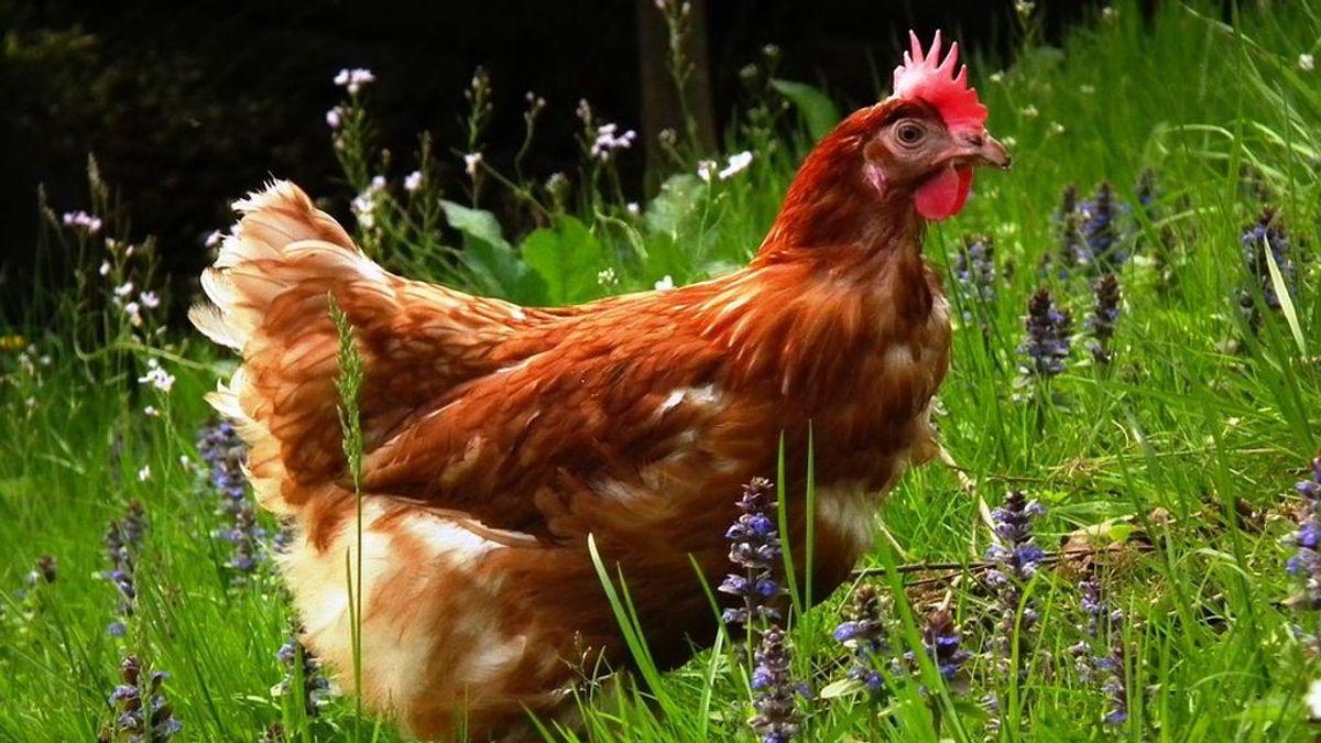 De la gallina que inventamos hace 8.000 años al pollo como alimento universal