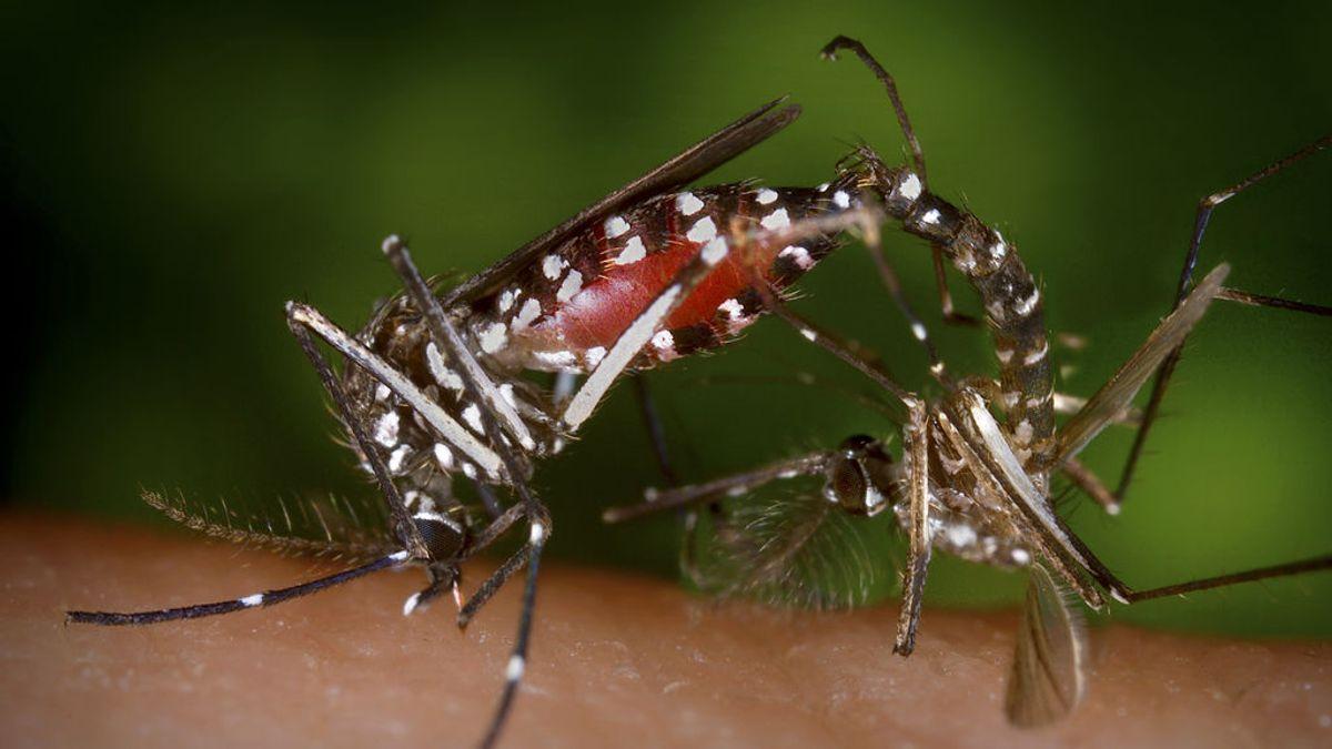 Abandono de segundas residencias y humedad: el mosquito tigre se ha multiplicado durante el confinamiento