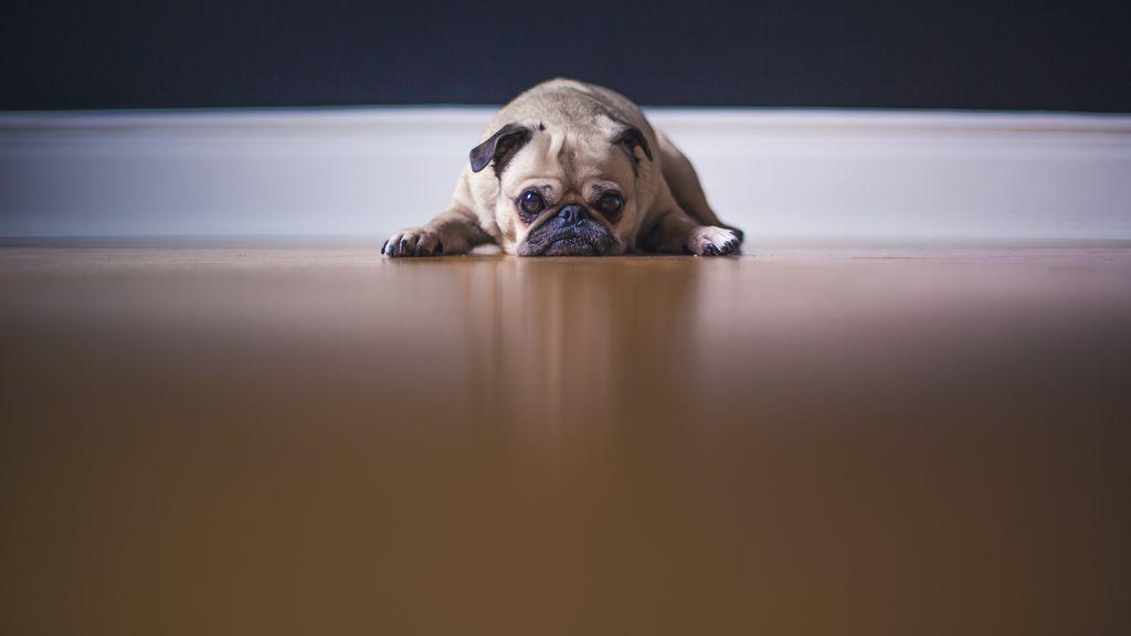 Mi perro destroza la casa cuando salgo: puede esté sufriendo ansiedad por separación