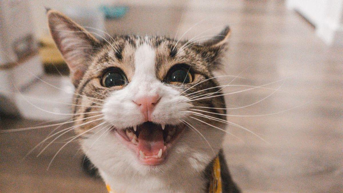 Ni divertidas ni sanas: acaba con las bolas de pelo de tu gato para siempre