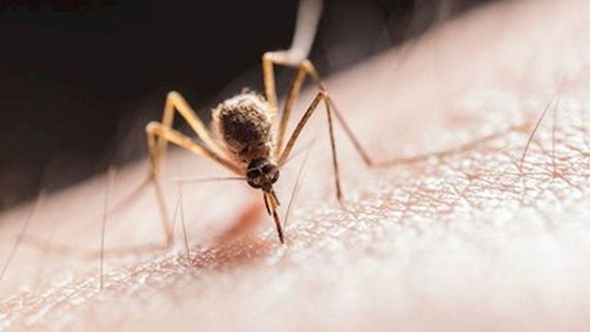 Las picaduras de los mosquitos no transmiten el coronavirus