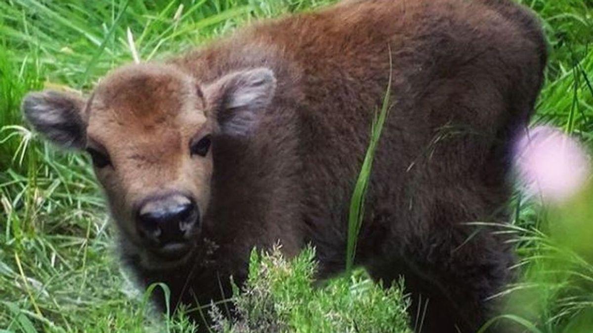 Bisonte europeo en León: nace la primera cría en semilibertad