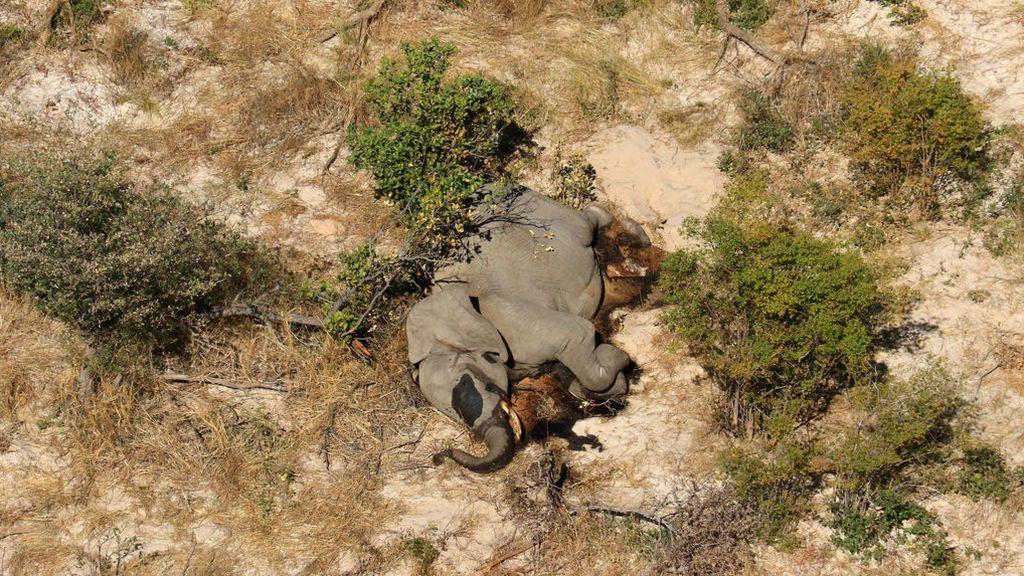 Cientos de elefantes muertos en Botswana: la causa sigue siendo un misterio