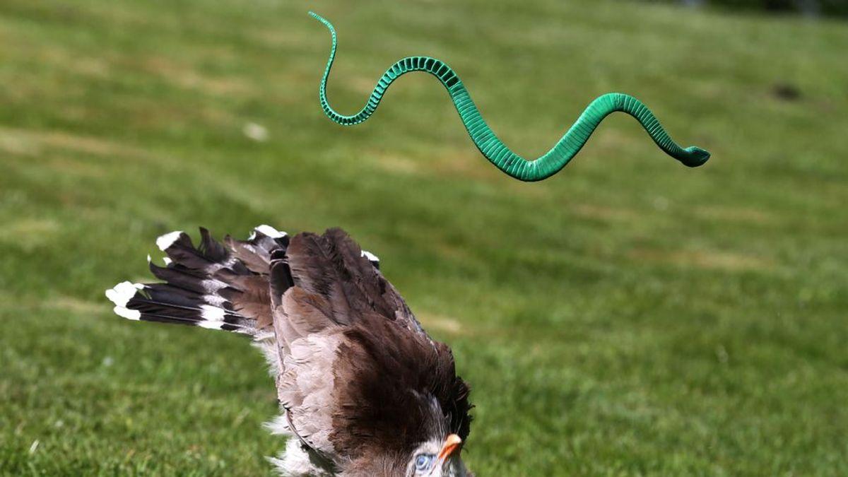 Serpientes voladoras: el movimiento maestro que las hace estables en el aire