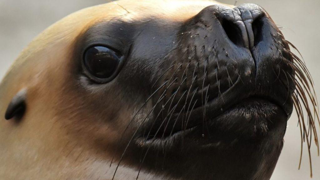 Nadie sabe por qué los leones marinos decapitados siguen apareciendo en la isla de Vancouver