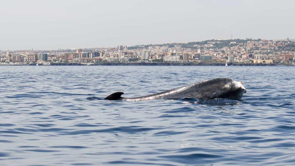 La ballena sin cola que intriga a Italia desde 2005 sale al mar