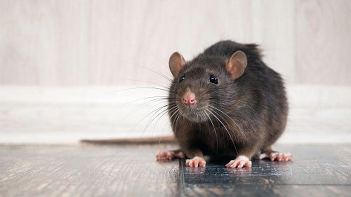Los vecinos de Palma denuncian una plaga de ratas del tamaño de conejos