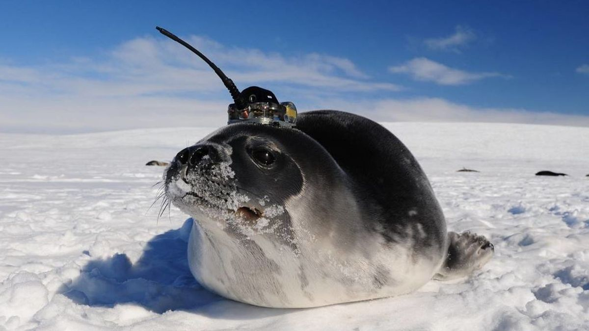 Focas y robots ayudan a los científicos  a descubrir las desconocidas corrientes del océano Antártico
