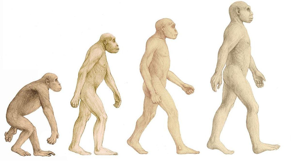 Un estudio revela que el 'Homo erectus' no era esbelto y ligero, sino compacto, achaparrado y robusto