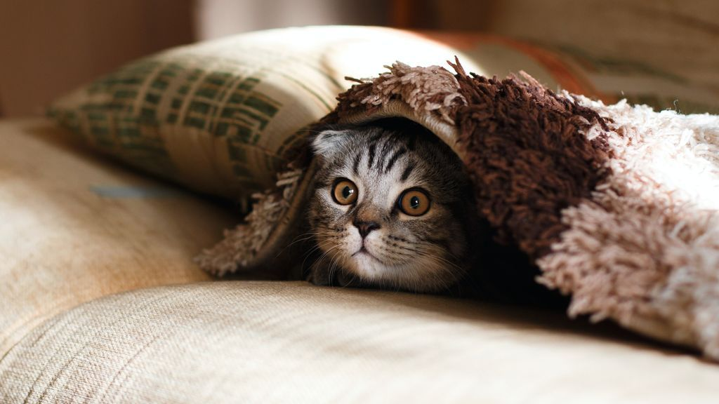 Ni le cambia el comportamiento ni destroza su salud: mitos y beneficios de esterilizar a tu gata