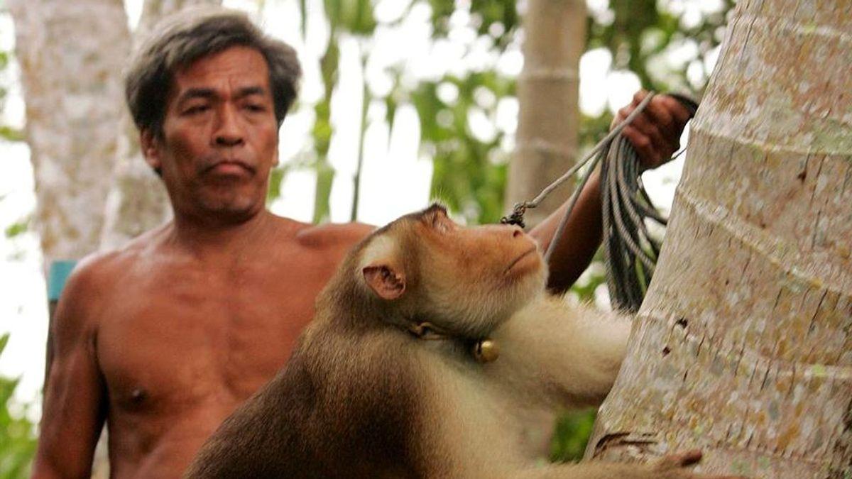 Polémica en Tailandia por la tradición de usar a los macacos para recolectar cocos