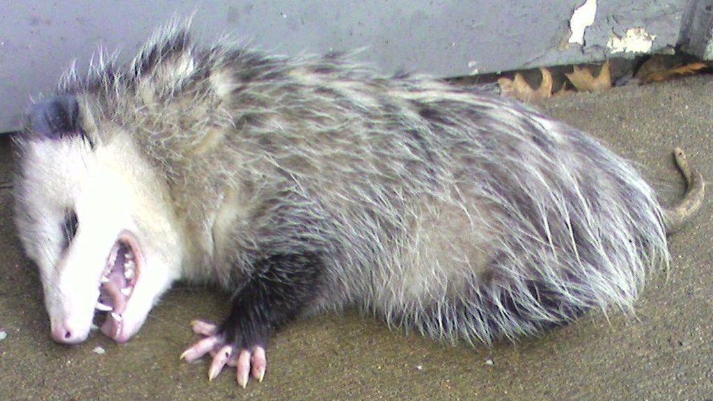 Científicos estudian la estrategia de hacerse el muerto de algunos animales para ahuyentar a un depredador