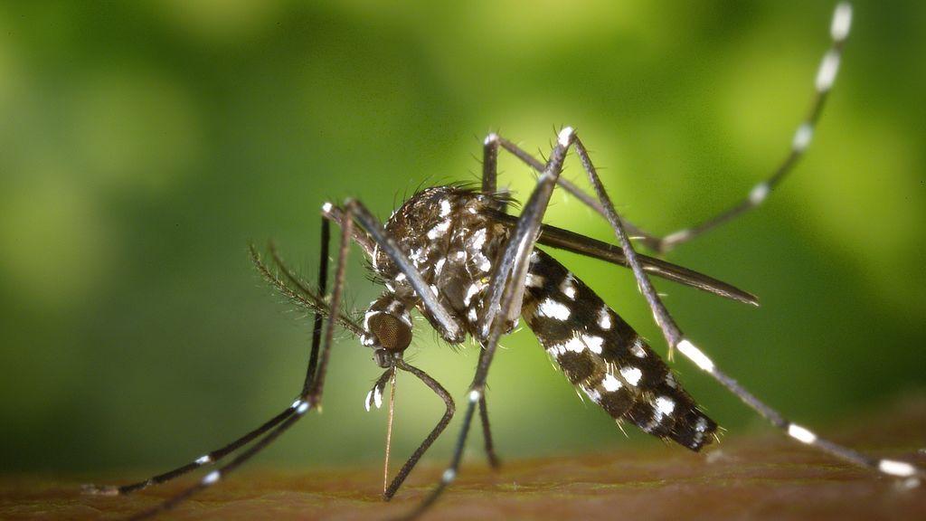 Esta primavera ha registrado el mayor número de mosquitos tigre de los últimos cinco años