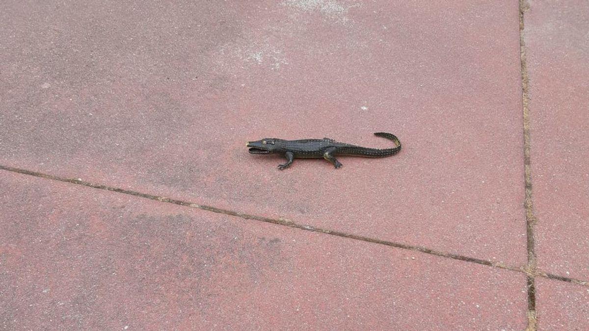 Alertan a la policía por una cría de cocodrilo suelta en el patio de un colegio de Alcorcón:  resultó ser un juguete