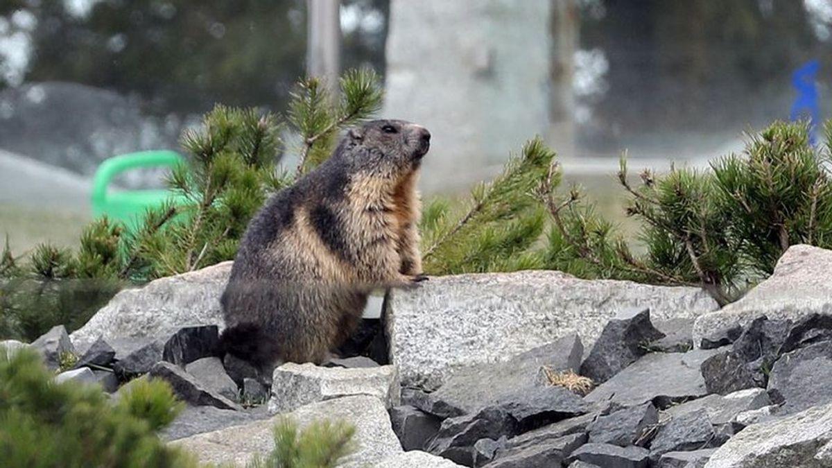 Rusia toma frente a los casos de peste bubónica de Mongolia: harán test a los roedores salvajes