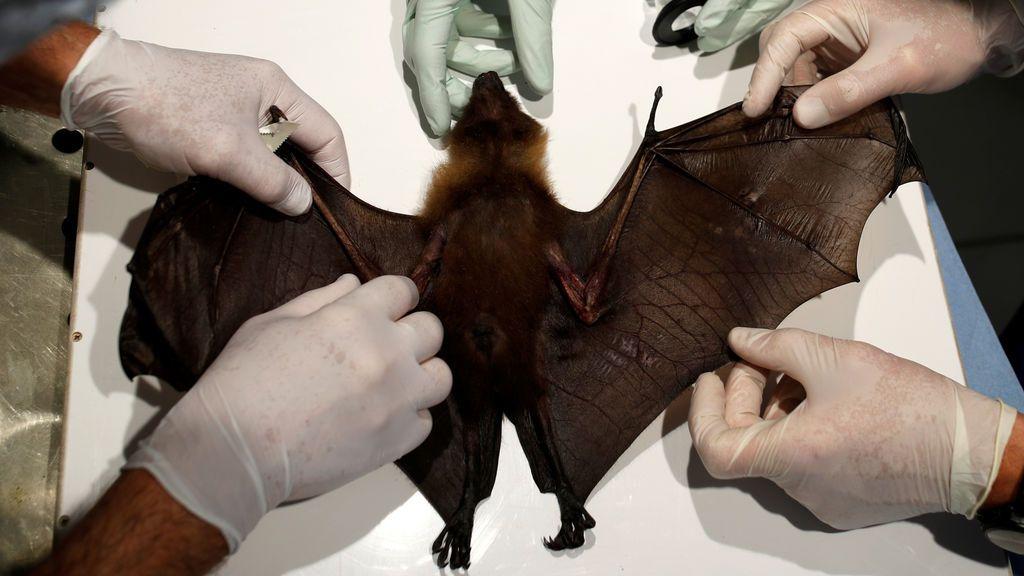 Investigadores del coronavirus extraen sangre a un murciélago