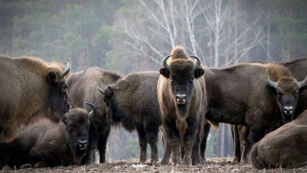 El bisonte salvaje vuelve a Reino Unido 6.000 años después