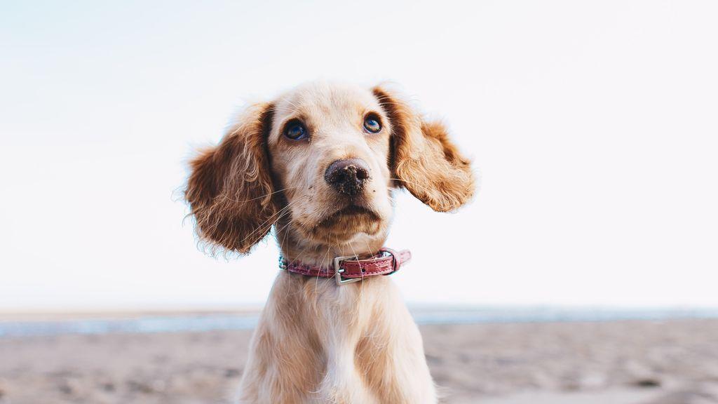 Beneficios y problemas del collar antiladridos, una de las últimas tendencias en cuidado canino