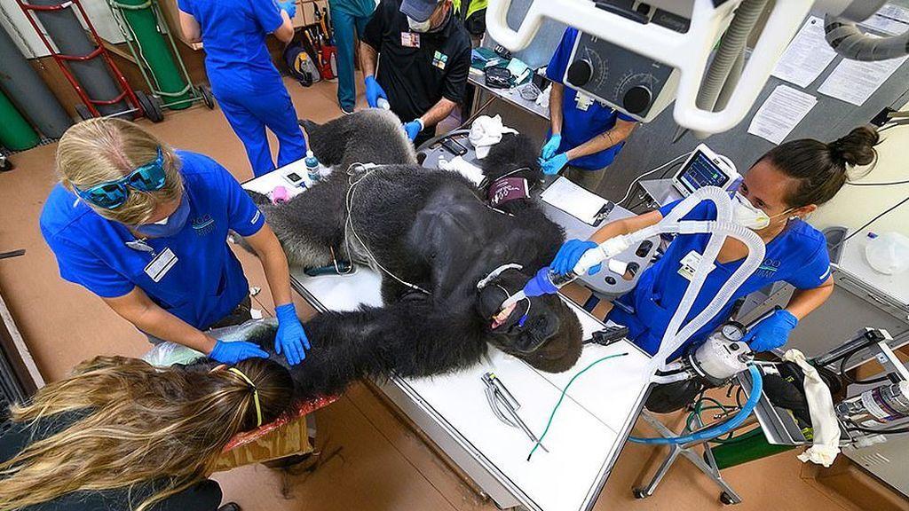 Le hacen el test de coronavirus a un gorila tras resultar herido en una pelea con su hermano y da negativo