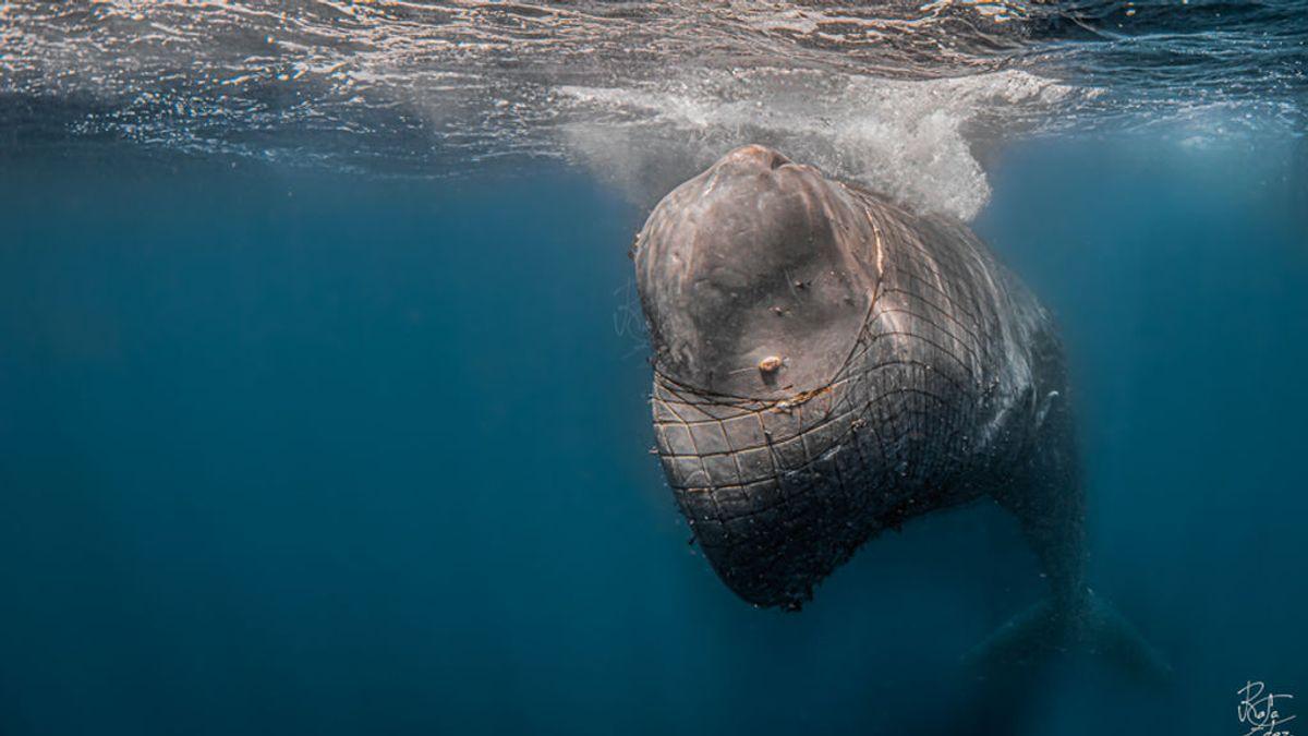 Salvad a Toño: un cachalote atrapado en una red, lucha por su vida en el Estrecho.