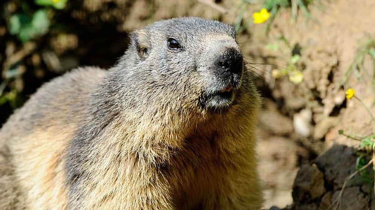 Un joven de 15 años muere de peste negra en Mongolia tras comer carne de marmota