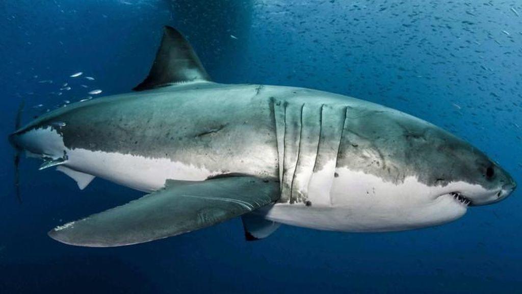 Graban a un tiburón blanco atacando estratégicamente a una ballena
